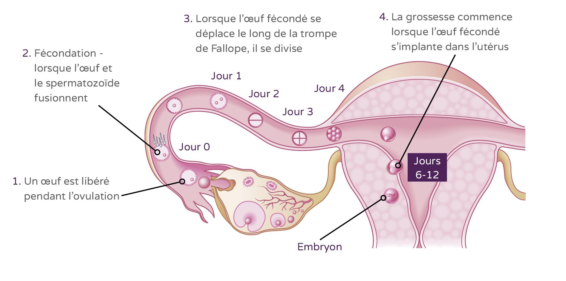 Signes de grossesse mais pas enceinte